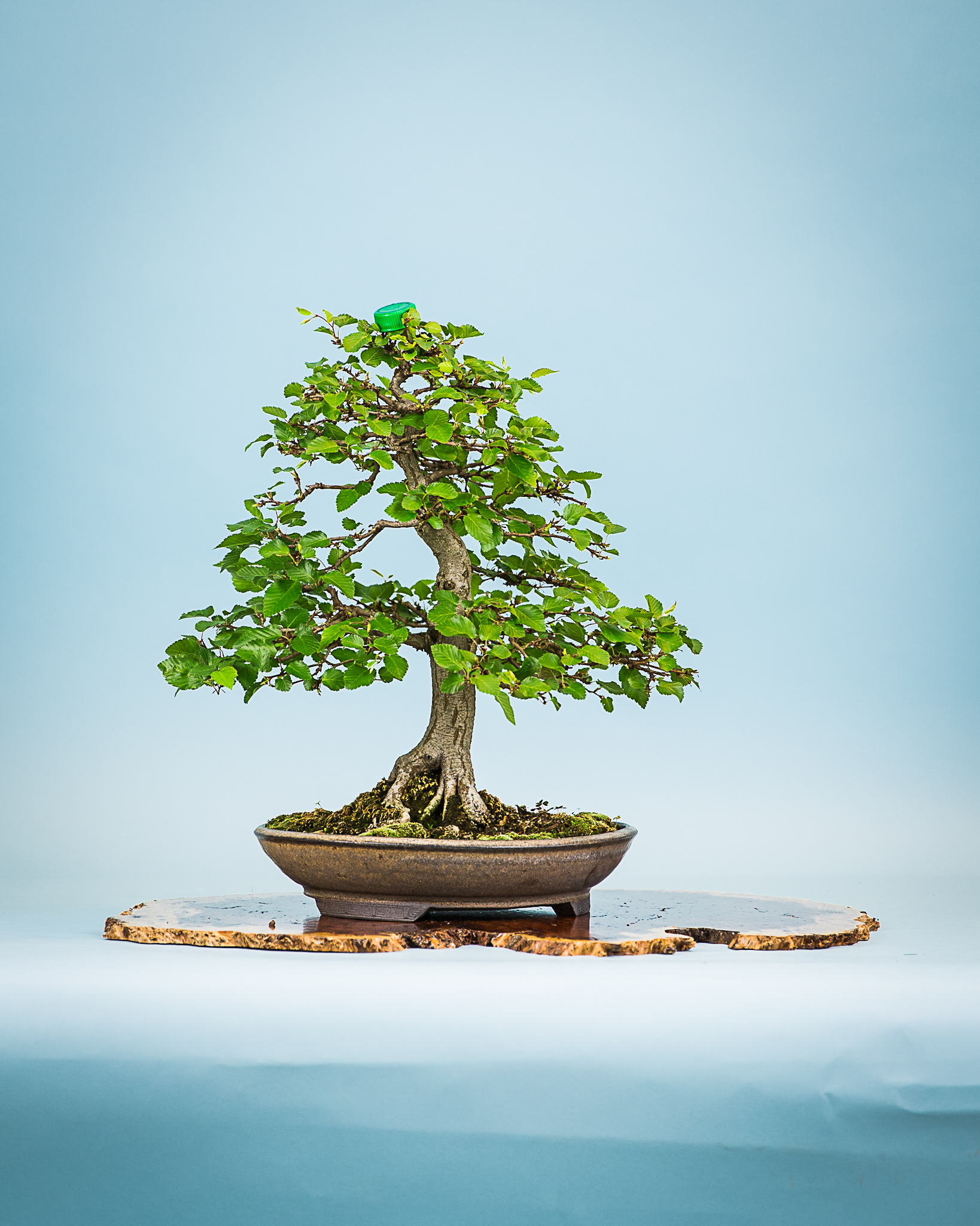 Spring Show 2015 Pittsburgh Bonsai Society