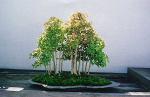 Trident maple grove